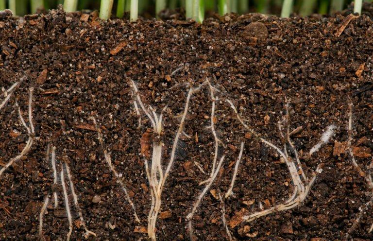 Wortels met mycorrhiza en rhinobacterien rhizobacteriën vormen symbiose met de plant