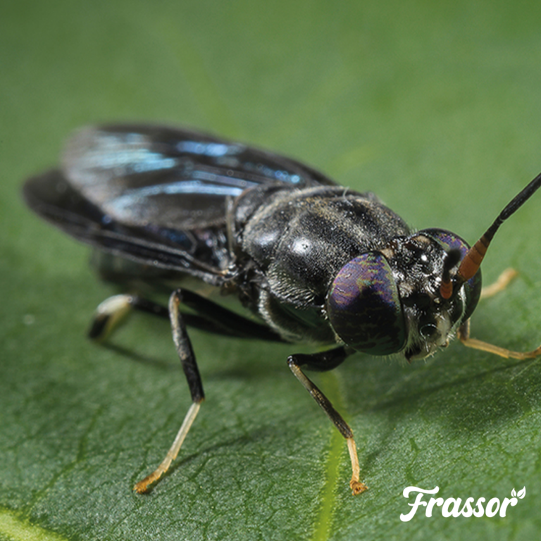 Black soldier fly - Frass